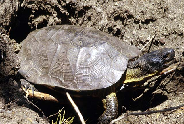 Image of wood turtle